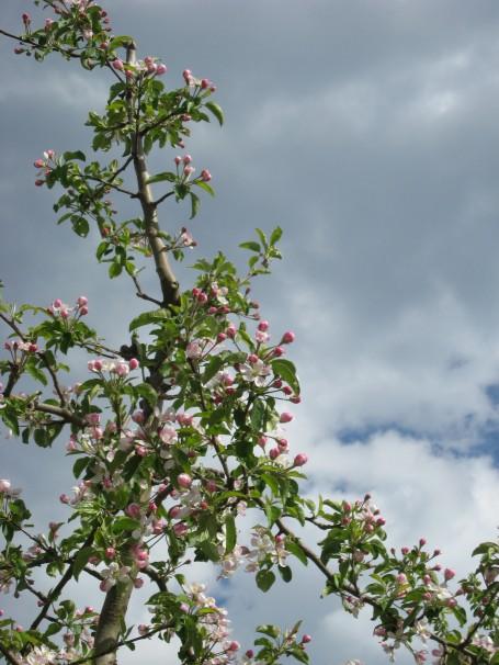 meli in fiore in val di non_vacanza benessere e natura in trentino