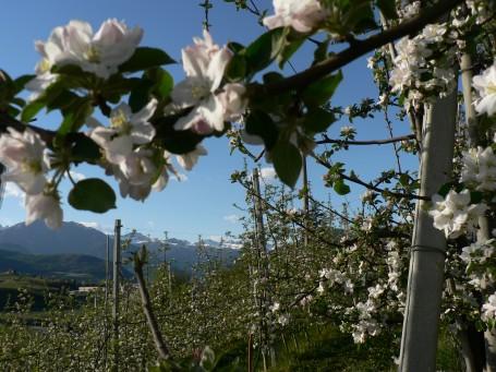 meli in fiore in trentino